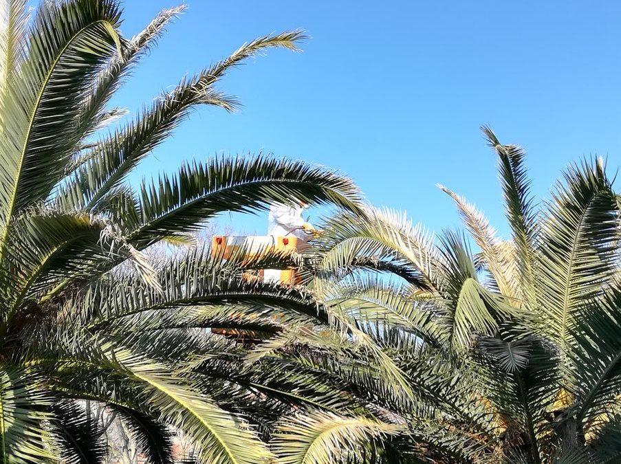Završno tretiranje palmi protiv nametnika crvene palmine pipe