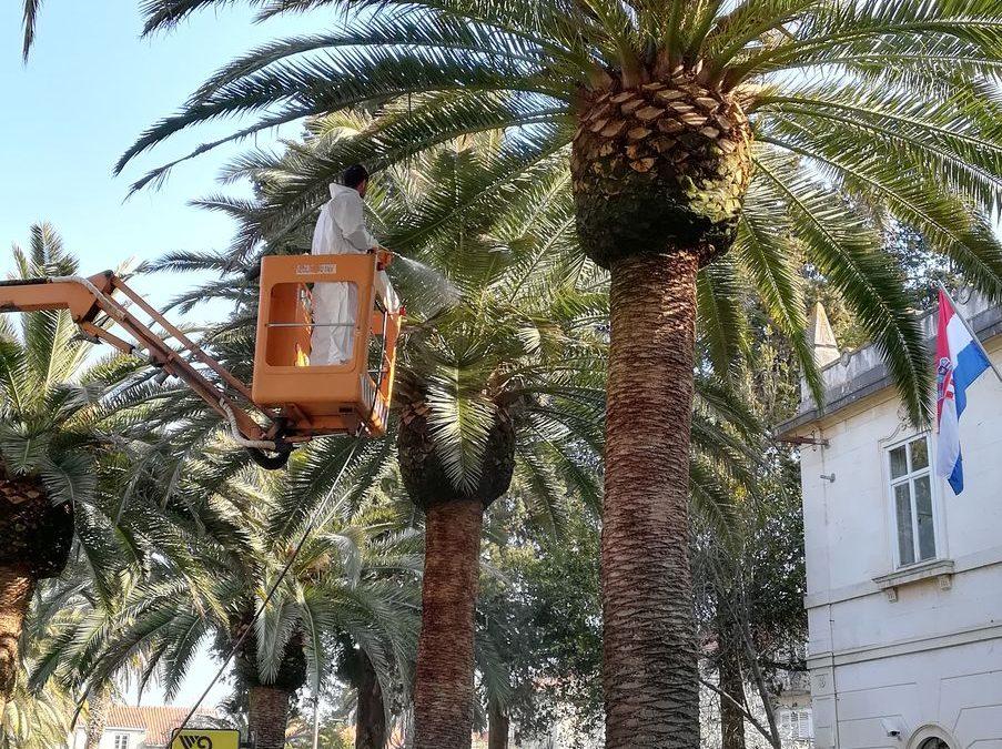 Drugo ovogodišnje tretiranje palmi protiv nametnika Palmine pipe