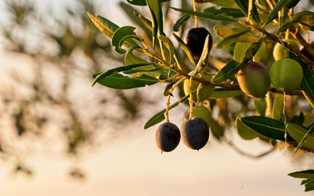 Gnojidba i rezidba masline – predavanje i radionica